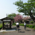 ■八重桜など