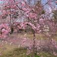 ■枝垂れ桜