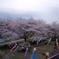■桜並木と鯉のぼり