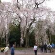 ■海老瀬のしだれ桜 その2